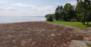 [ZDJĘCIA] Gałęzie rdestowca pokryły fragment zbiornika w Goczałkowicach
