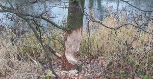 W Czechowicach-Dziedzicach zadomowiły się bobry - zdjęcia